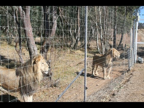 What Is Canned Hunting? | Blood Lions®