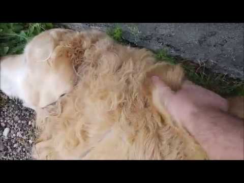 12-yo Golden Retriever 'calls' me over for some petting