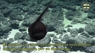 ЗАГАДОЧНЫЕ СУЩЕСТВА. Гальпер-угорь, Большерот, Рыба-Пеликан. Подводный мир. Гавайские острова.
