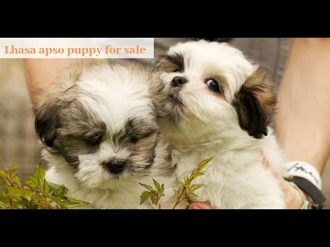 lhasa-apso-puppy-for-sale-by-dogsbreedofficial