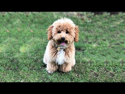 Cute Poochon Puppies Video Compilation