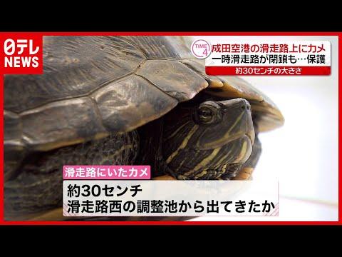 【一時閉鎖】「カメが歩いている」成田空港の滑走路上で保護
