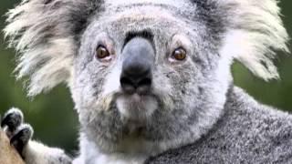 ifotobomb.com koala photo bomber