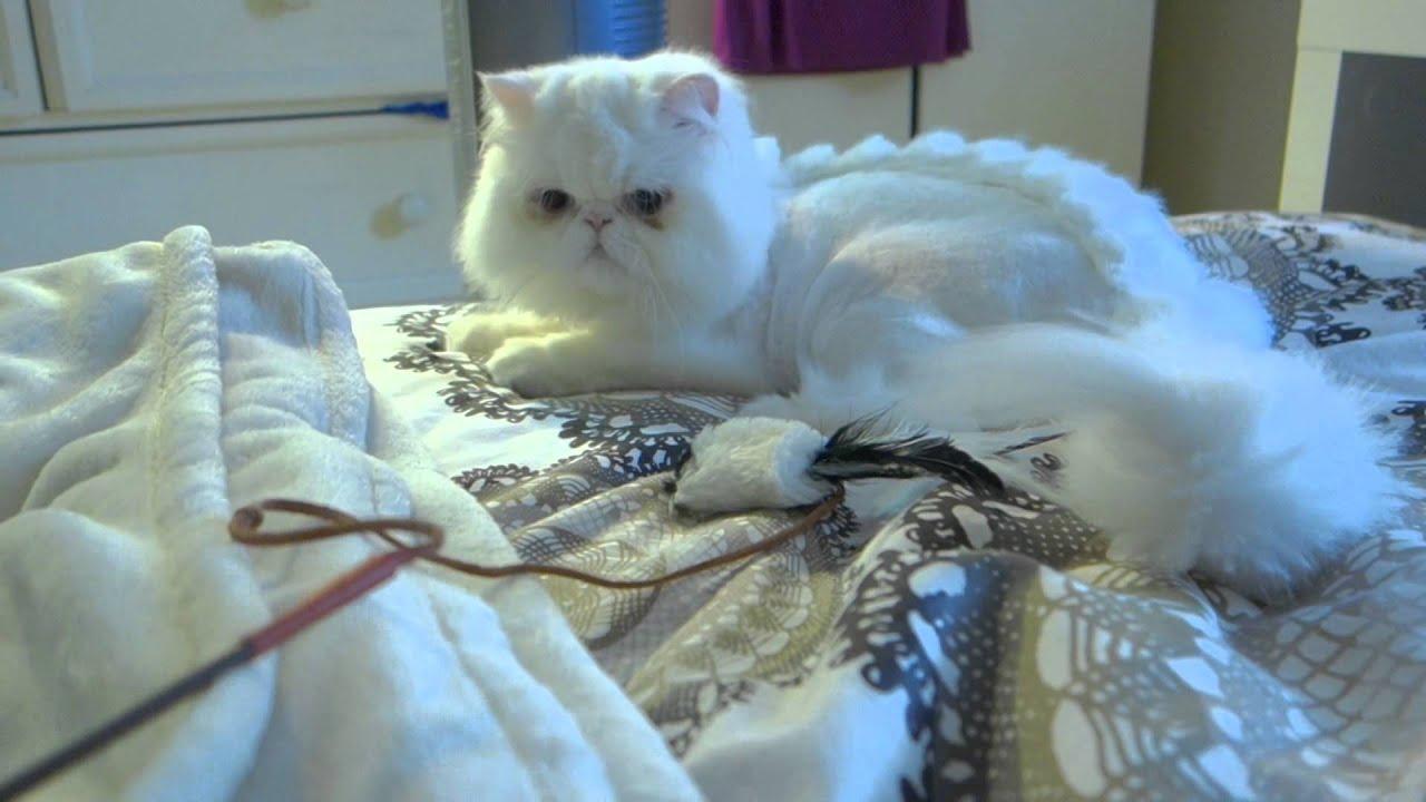 Persian Cat With DinosaurDragon Cut Playing YouTube