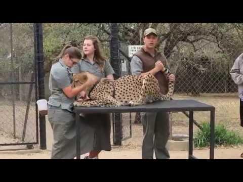14.09.16 Moholoholo Widlife Rehabilitation Centre - Cheetah
