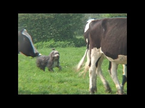 Tania, bearded collie, sur bovins
