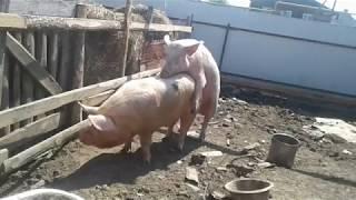 СВИНЬЯ В ОХОТЕ/ The pigs line