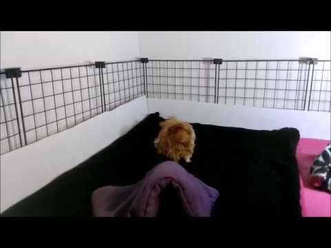 So...I have Guinea Pigs! WHEE! (Guinea Pig Cage Tour!)