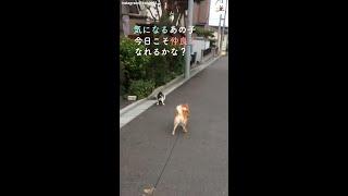 【今日も完全敗北!】散歩中にニャンコと出会い、仲良くなろうとする柴犬♪ ところが…