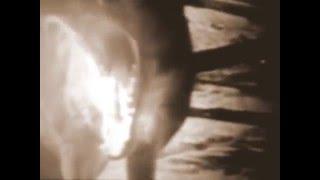 Тайсманский тигр 1982 год ( читать описание )