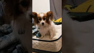 Papillon Cubs Howling Barking Cute Adorable At Friends house Dog Trick