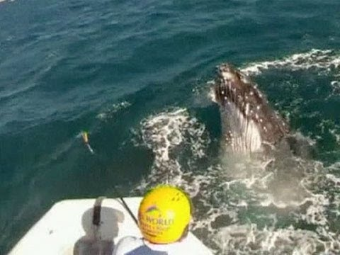 Humpback whale rescued from net off Australia's Gold Coast
