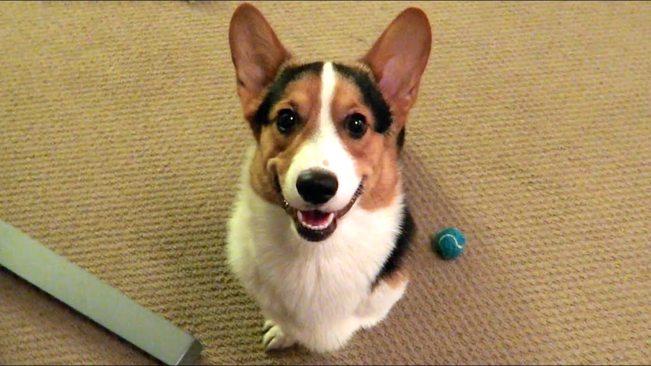 Keep Smile Quotes Wallpaper Corgi Dog Smile Returning From My Trip Life After