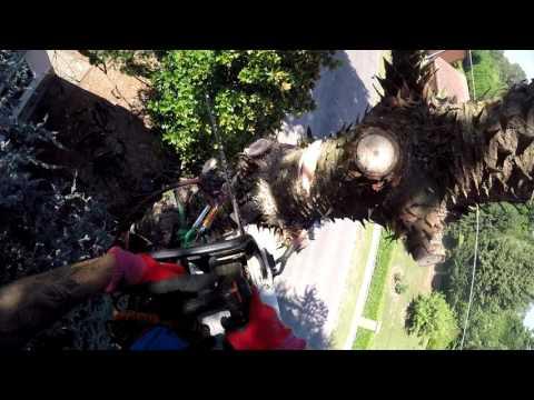 Tree Climbing abbattimento Araucaria araucana. Monkey puzzle tree dismantle.
