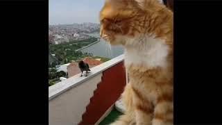 Karga  Kedi Erzurum Dublaj