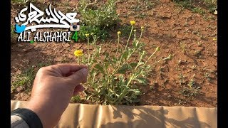 من أزكى وأشذى النباتات نبتة العرار (عرار نجد) التي تغنى بها الشعراء