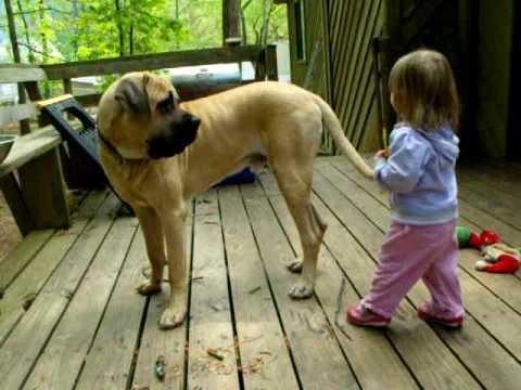 Resultado de imagen para mastiff tail