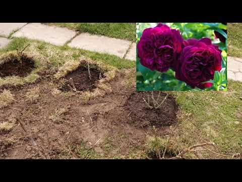 Розы. Планировка розария. Пересадка и новые посадки 4 мая 2019..