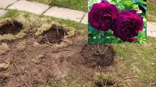 розы.  Планировка розария. Пересадка и новые посадки 4 мая 2019