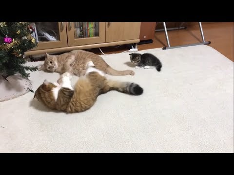 ケンカの仲裁に入る子猫に癒される   Comforted by kitten that tries to stop the fight.