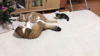 ケンカの仲裁に入る子猫に癒される thumbnail