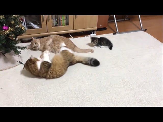 ケンカの仲裁に入る子猫に癒される