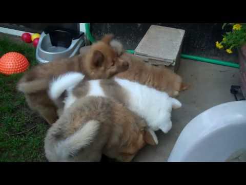 Icelandic Sheepdog Puppies Born to be Wild - Lokasteinn Icelandics
