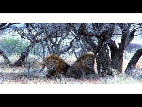Lion hunting teaser video in South Africa with Limcroma Safaris