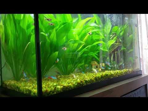 Jungle Amazon Sword Plants With Community Fish..