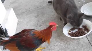 Бои без правил петух против кота