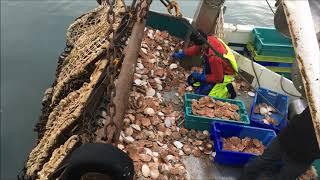 Débarque de coquilles à Saint-Vaast-la-Hougue