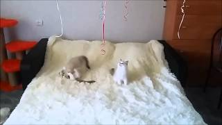 Котята рэгдолл и воздушные шарики