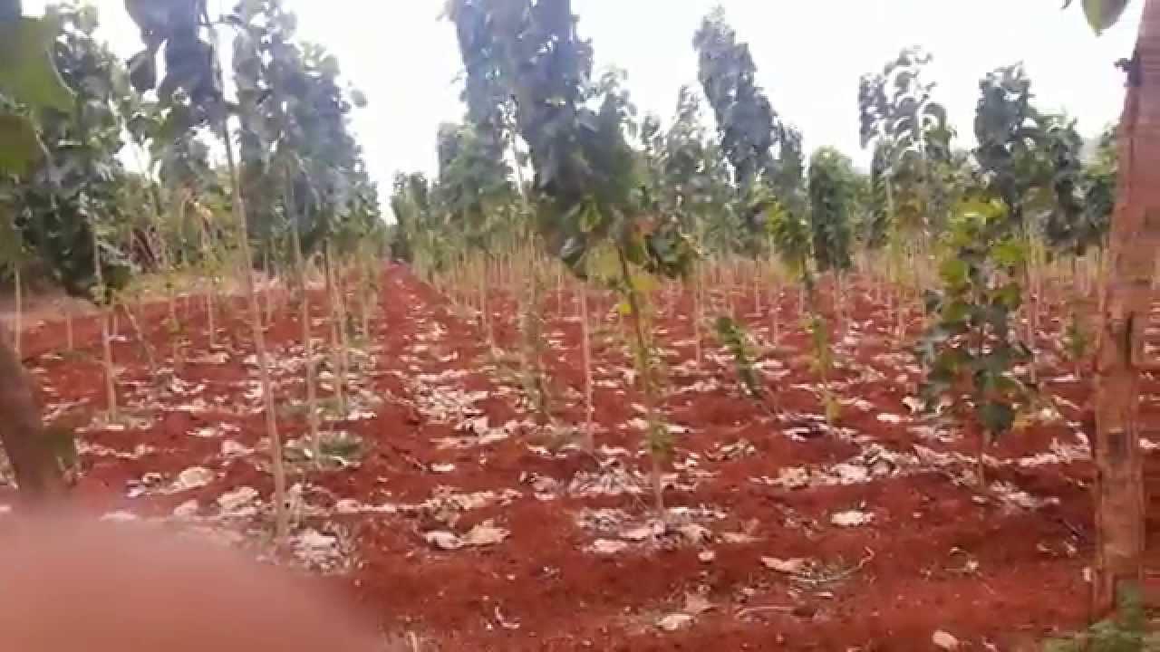 Teak Wood Plantation