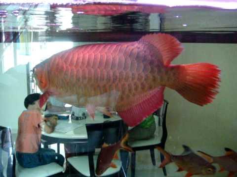 Red Arwana