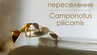 Переселение колонии Camponotus pilicornis в новый инкубатор! VLOG #4.1