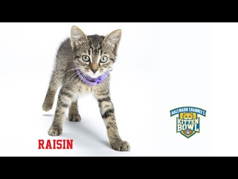 Thumbnail for Cat Video Kitten Bowl II - Raisin - Player Profiles