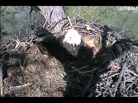 Decorah Eagles: Eagle Guardian Angel