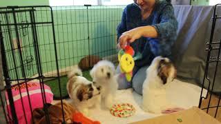 Coton de Tulear Puppies For Sale - 2/24/21