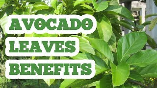 Avocado leaves benefits