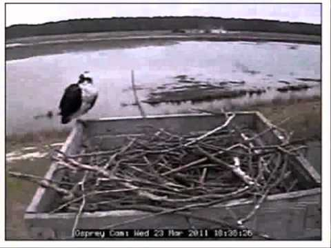 Ospreys visit and mate today with nest Blackwater National Wildlife Refuge 03/23/11