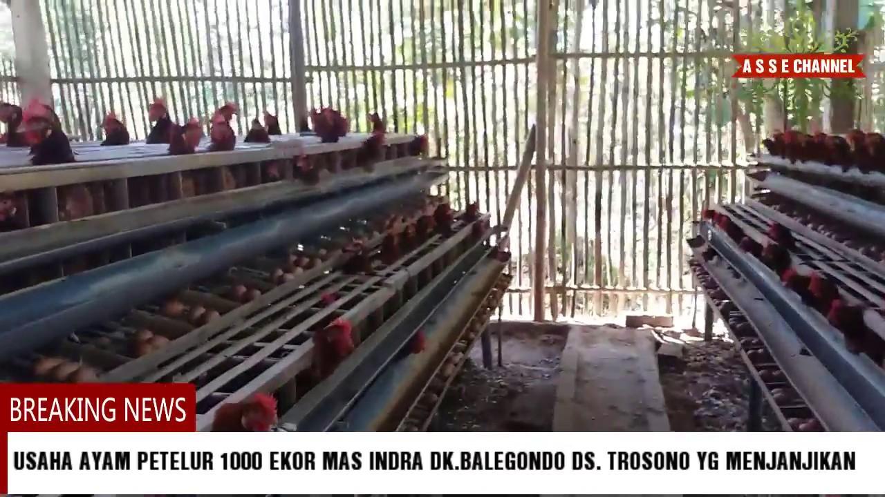 Modal Usaha Ternak Ayam Petelur 1000 Ekor - Seputar Usaha