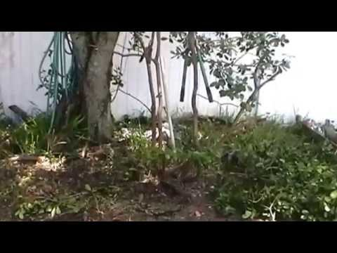 how to prune guava tree, Tampa, Florida, zone 9