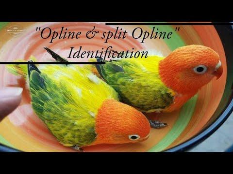 Opline And Split Opline Love Birds Identification