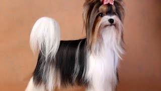 собака породы бивер йорк кобель мини, вязка, щенки,питомник Мини Фанфини (ФУРОР)