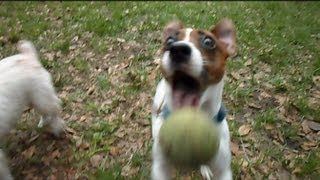 Jack Russel Terrier Dogs At Play With Tennis Ball