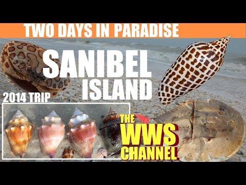 two-days-shelling-at-sanibel-!-wonderful-beachcombing-at-low-tide-:-so-many-sea-shells