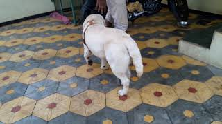 Champion line labrador male for stud in nashik