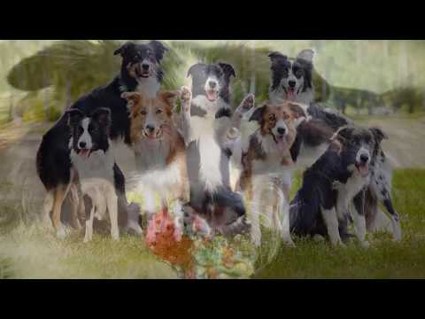 Popular Dog Breed-Border Collies are not like other dogs
