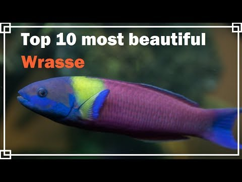 Top 10 Most Beautiful Wrasse