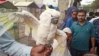 Crazy Cockatoo Talking and dancing parrot in public
